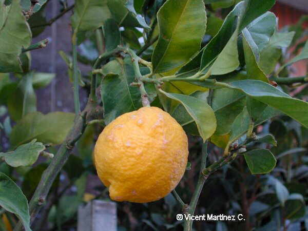 Citrus limonun fruit