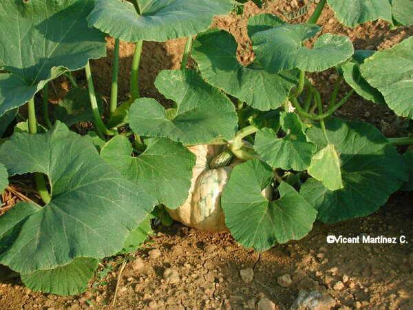 cucurbita pepo - planta