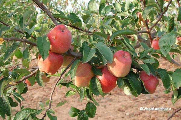 Malus domestica, fruits