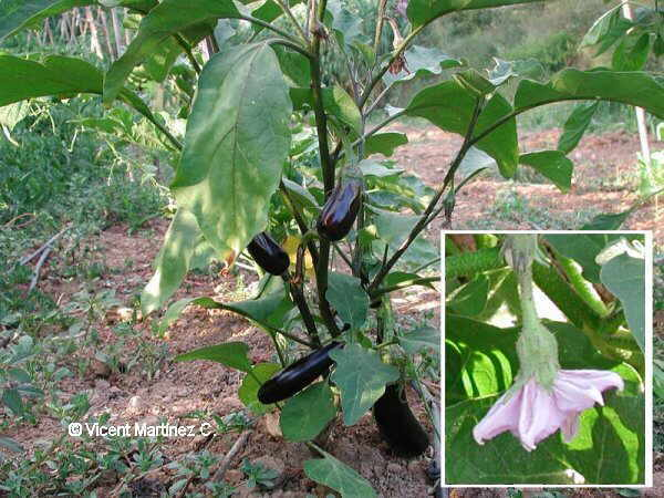 Solanum melongea