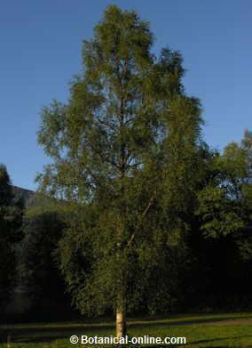 Foto d'aspecte general del arbre bedoll