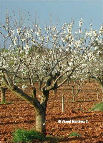 Prunus avium, aspecte de l'arbre