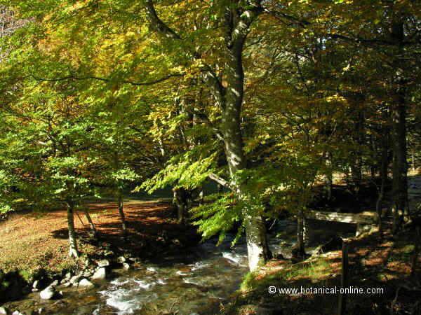 Fagus sylvatica aspecte del bosc