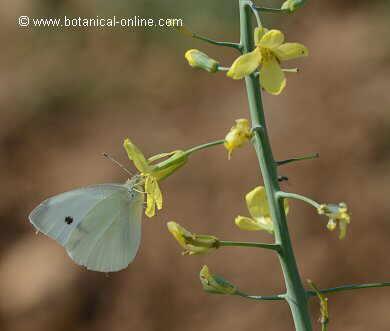 Brassica oleracea flor
