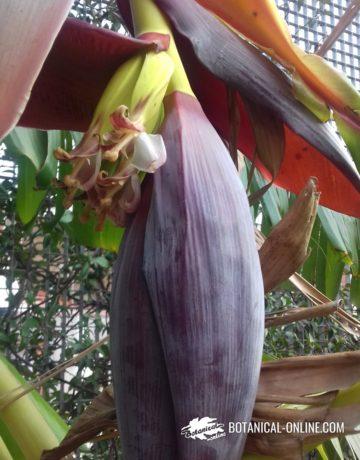 flor plátano