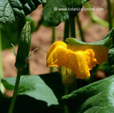flor de carabassa