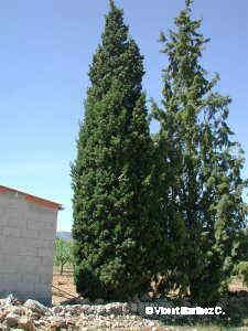 Xiprer, aspecte de l'arbre