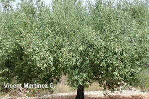 olea europaea, aspecte de l'arbre