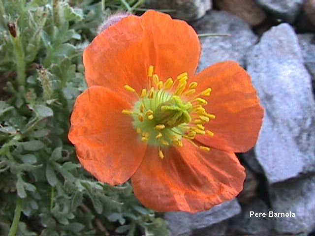 papaver alpinum