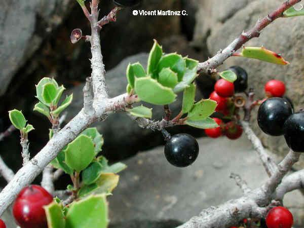 Rhamnus myrtifolius