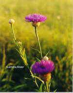 flor de cistell