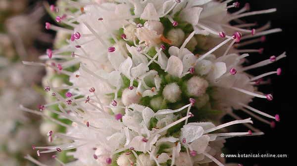 Mentha rotundifolia, detall de la inflorescencia