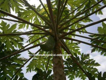 papaya árbol