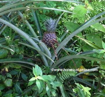 planta de piña amb el fruit