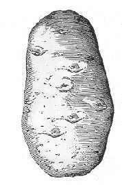 tubercle