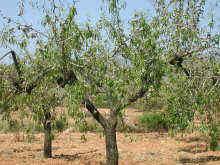 ametller, aspecte de l'arbre