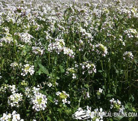 ravenissa blanca diplotaxis erucoides