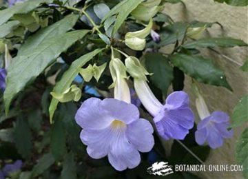 Thunbergia vogeliana