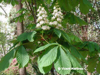 Horse chesnut flowers and leaves
