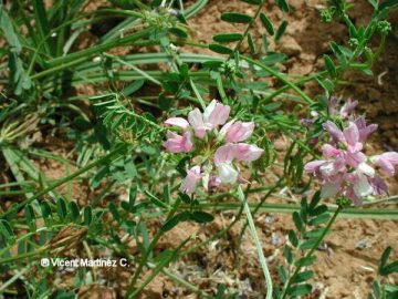 Photo of crown vetch