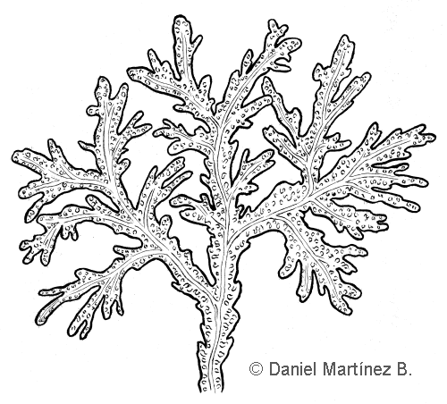 Drawing of fucus