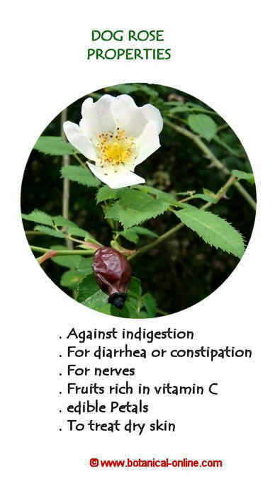 Properties of dog rose
