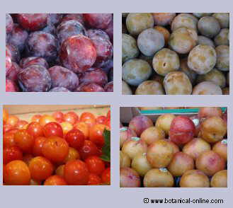 diferent types of plums