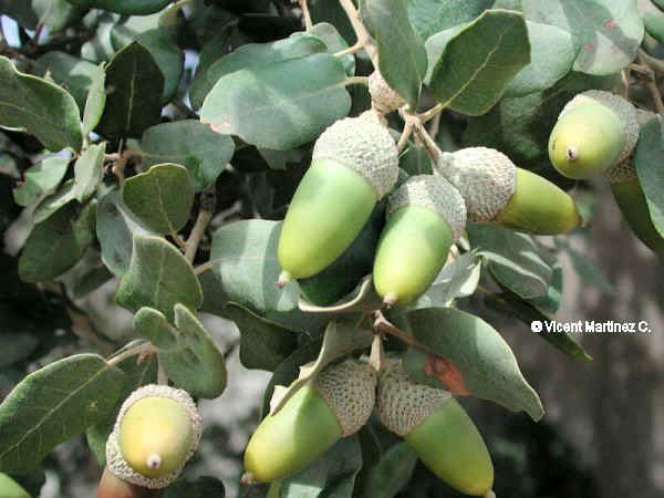 holm oak fruits and leaves
