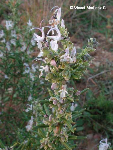 Photo of rosemary