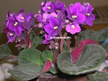 African violet.