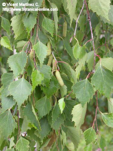 birch leaves and catkins