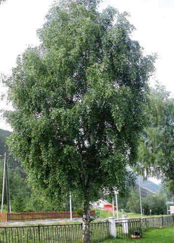 A birch in a park