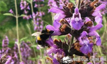 Bumblebee on a sage