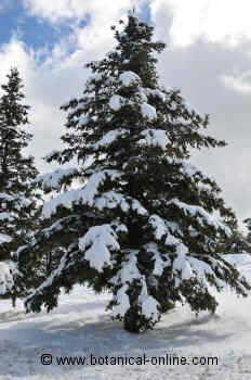 Fir tree with snow (Abies alba)