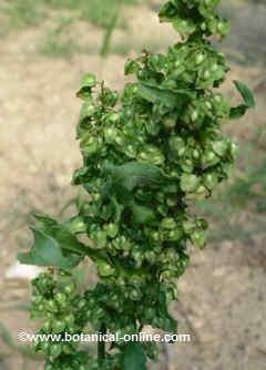 Fruits of sorrel.