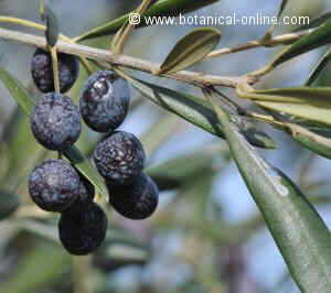 olives in a tree