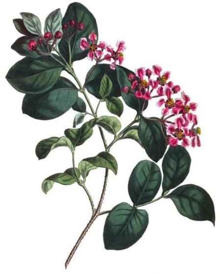 acerola tree