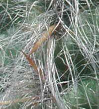 orocereus celsianus