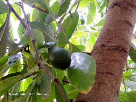 Avocado tree with a fruit