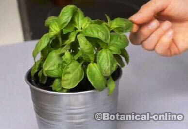 Basil for ovarian cysts