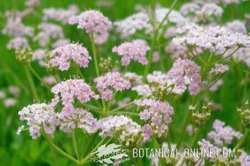 Flowers in umbel of caraway