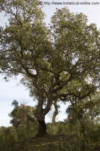 Quercus suber L. tree