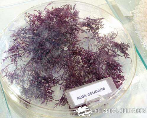 alga agar agar before being processed