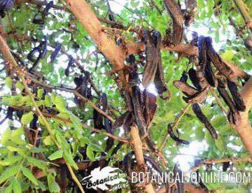 carob beans in a carob tree