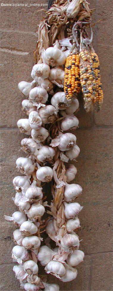 Rope of garlics