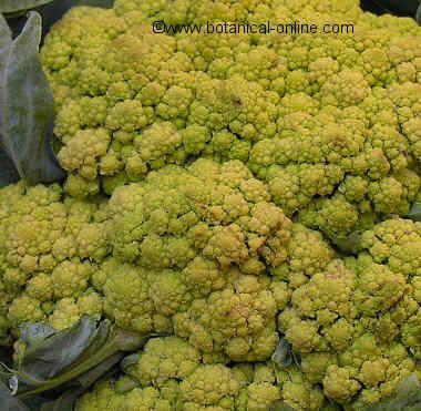 cauliflower detail