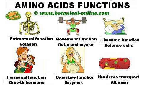 main functions of amino acids