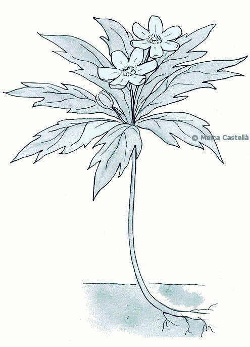 Wood anemone drawing