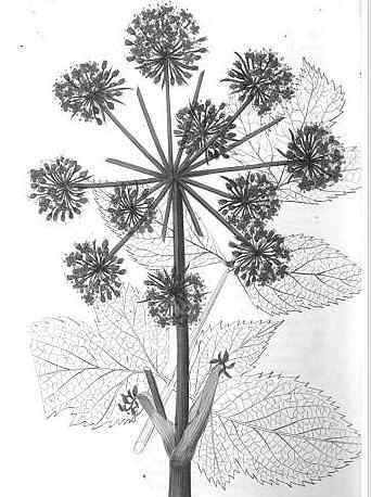 wild celery drawing