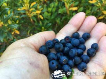 Wild blueberries freshly harvested.